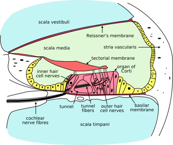 File:Cochlea-crosssection.png