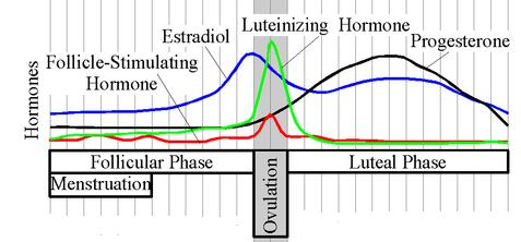 File:Estradiol.Cycle.JPG