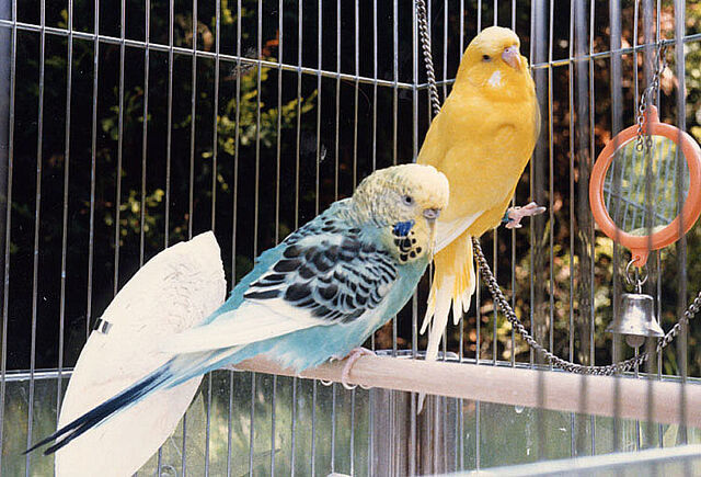 File:Budgie.two.750pix.jpg