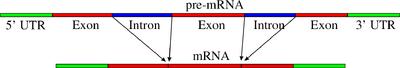 Pre-mRNA to mRNA