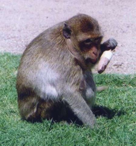 File:Crab Eating Macaque.jpg