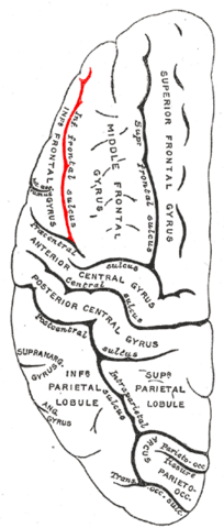 File:Gray725 interior frontal sulcus.png