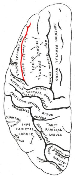 Gray725 interior frontal sulcus
