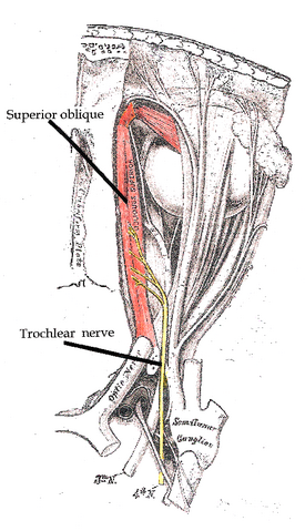 File:Trochlear nerve.png
