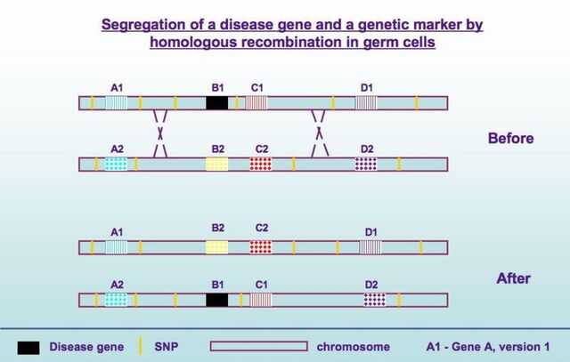 File:Disease gene segregation.jpg
