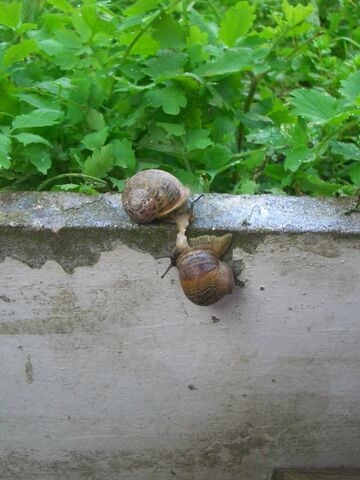 File:Snail mating.jpg