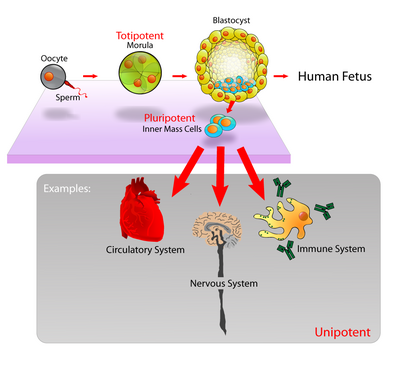 Stem cells diagram