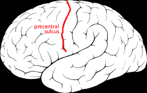 File:Precentral sulcus.png