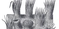Filiform papilla