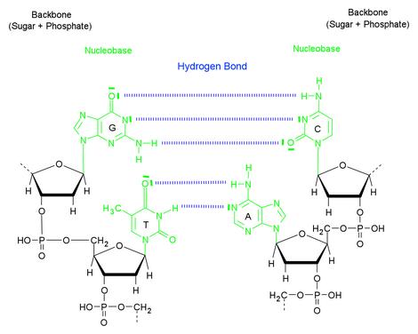 DNAbasePairing2