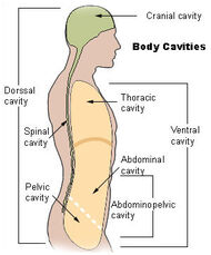 Illu body cavities