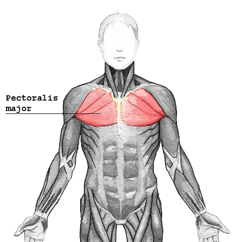 File:Pectoralis major.png