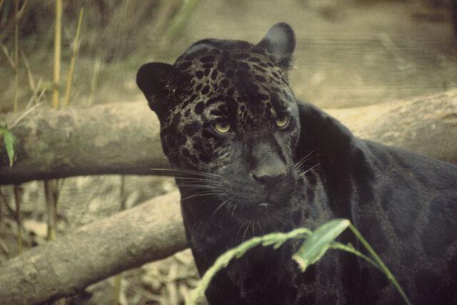 File:Black jaguar.jpg