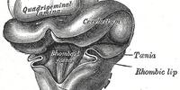 Rhomboid fossa