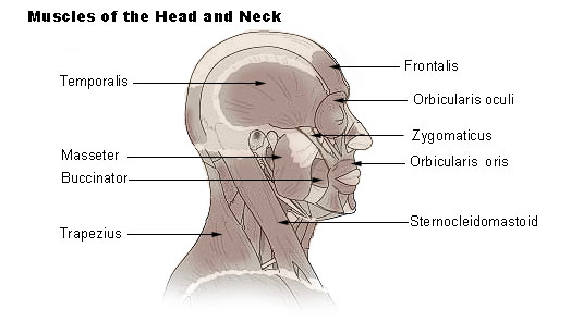 File:Illu head neck muscle.jpg