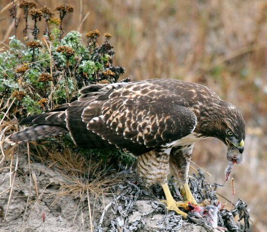 File:Hawk eating prey.jpg