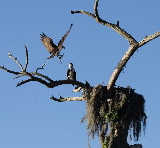 File:Osprey landing in the nest at Camp Echockotee.JPG