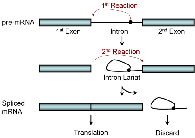 File:Two-step Splicing Reaction.png