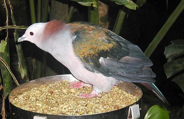 File:Imperial.pigeon.750pix.jpg