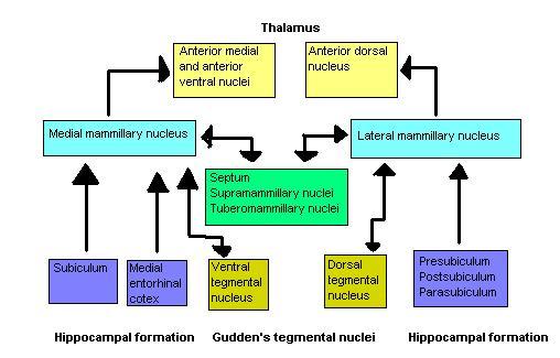 File:Mammillary-bodies-schematics.jpg