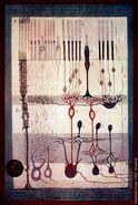 Cajal Retina