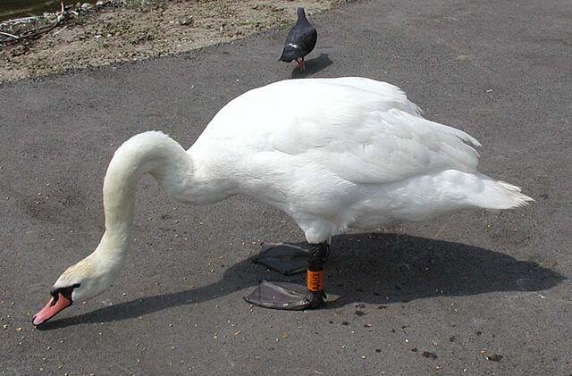 File:Mute.swan.slimb.750pix.jpg