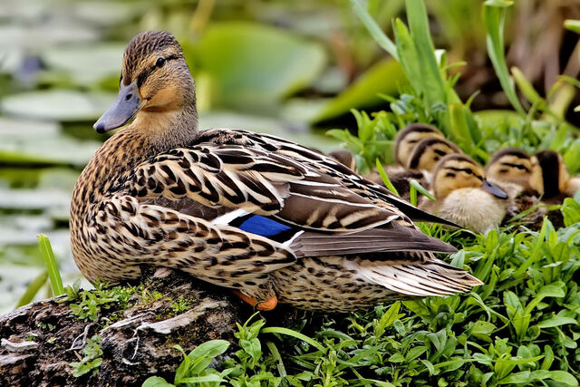 File:Female mallard nest - natures pics edit2.jpg
