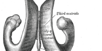 Posterior horn of lateral ventricle