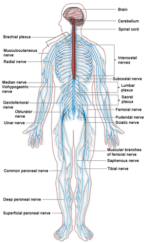 Nervous system diagram