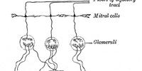 Olfactory ensheathing cells