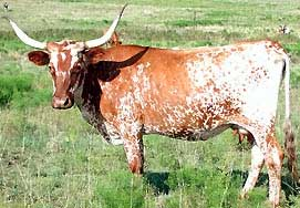 File:TexasLonghorn.jpeg
