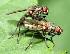 Anthomyiidae sp. 1 (aka)