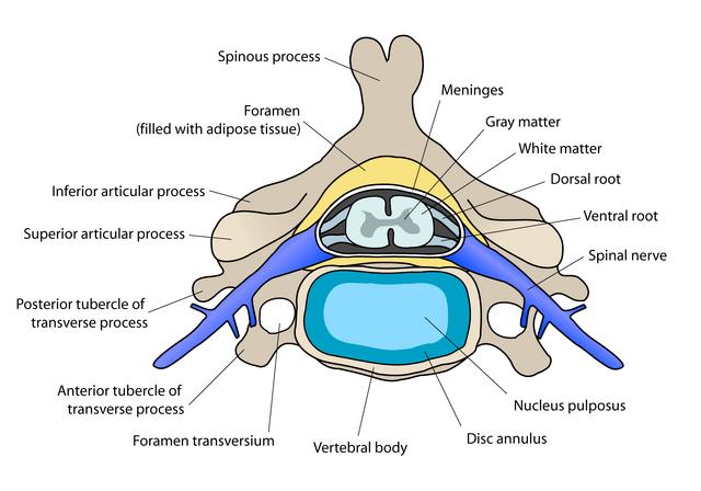 File:Cervical vertebra english.png