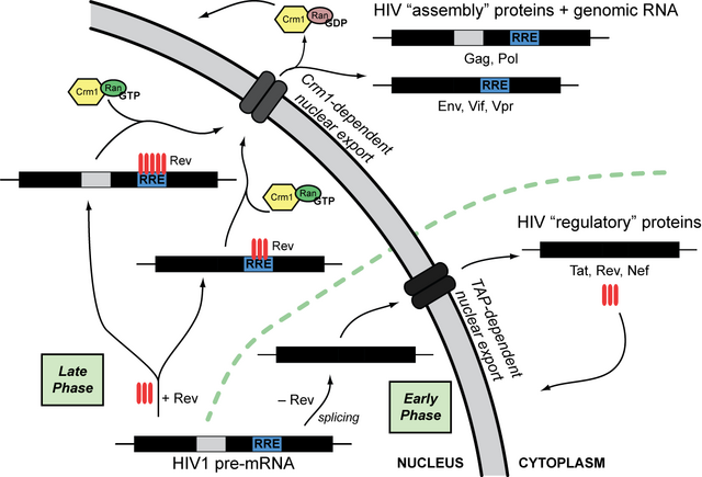 File:Rev-mediated HIV mRNA transport.png