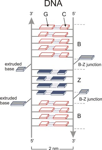 File:B&Z junction DNA.jpg