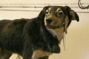 One of Pavlov's dogs