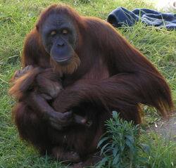 Female Orangutan & Baby PerthZoo SMC Sept 2005