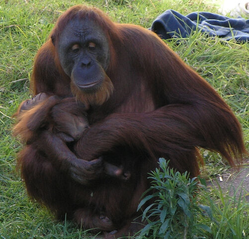File:Female Orangutan & Baby PerthZoo SMC Sept 2005.jpg