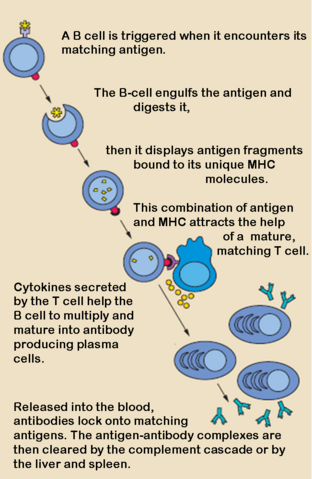 File:B cell activation.png