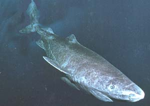 Pacific Sleeper Shark - Somniosus pacificus