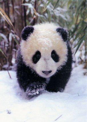 File:Panda so nice.jpg