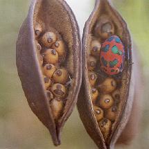 Kurrajong seeds
