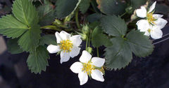 File:Wildstrawberry.jpg