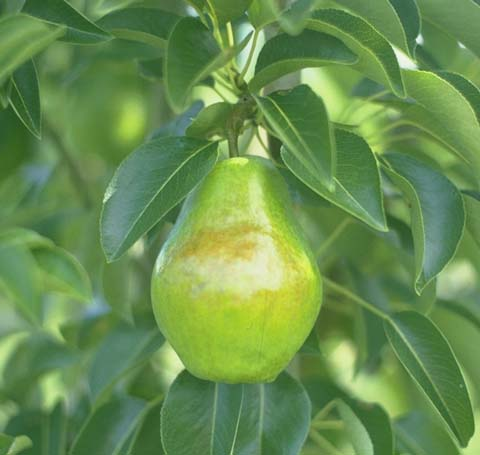 File:Bartlett Pear.jpg