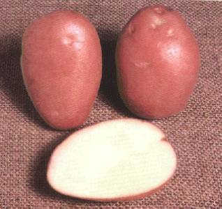 File:WaxyPotato.jpg