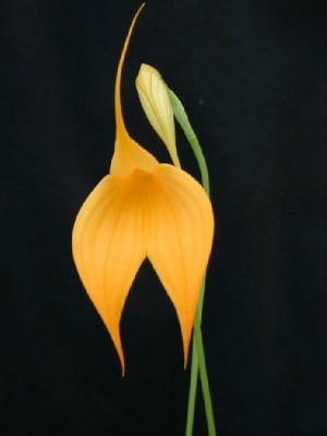 File:Saffron.jpg