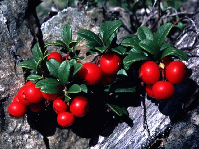 File:Cowberry.jpg