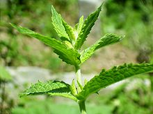 File:Spearmint.jpg