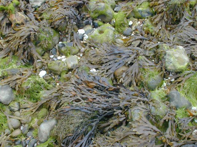 File:Seaweed.jpg