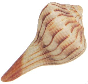 File:Whelk.jpg